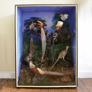 Taxidermy: Golden Pheasants
