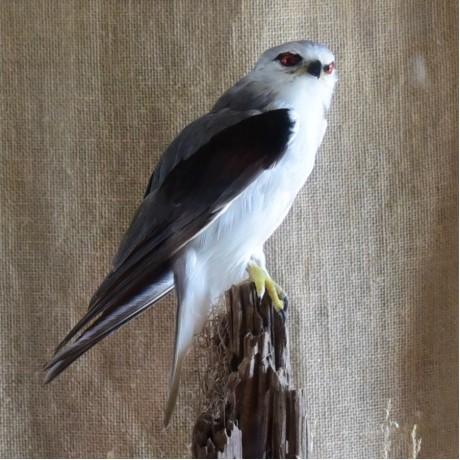Taxidermy: Black Winged Kite