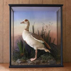 Taxidermy Egyptian Goose