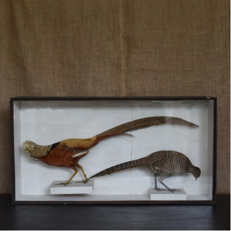 Taxidermy: A Pair of Golden Pheasants
