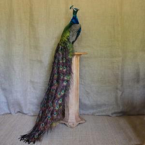Taxidermy: Peacock