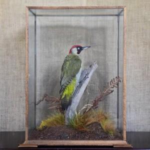 Taxidermy: Green Woodpecker