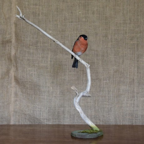 Taxidermy: Male Bullfinch