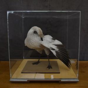 A Stuffed Magellan Goose