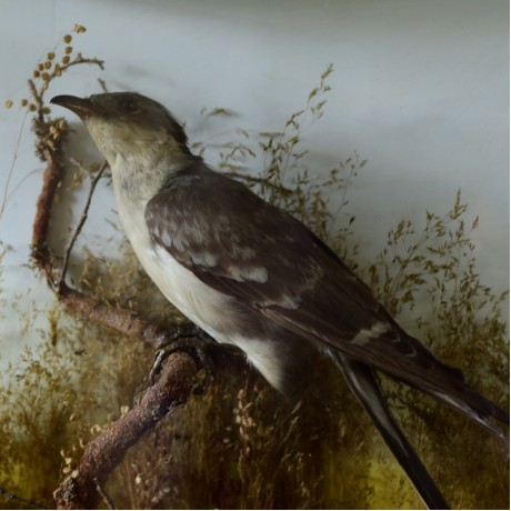 Taxidermy: Great Spotted Cuckoo