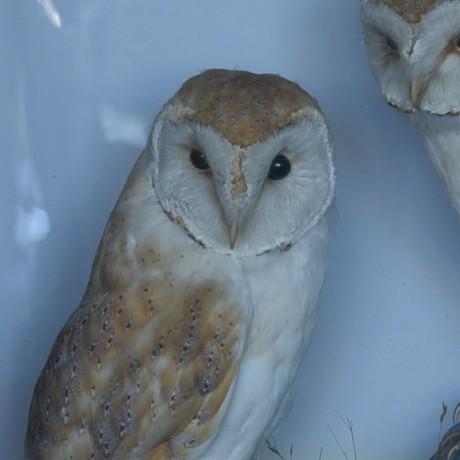 Taxidermy: Barn Owls by Hutchings