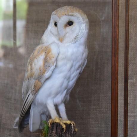 Taxidermy: Barn Owl