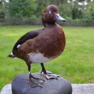 A Stuffed Ferruginous Duck
