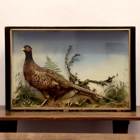 Taxidermy: Cock Pheasant by Jefferies