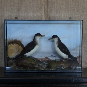 Taxidermy: A pair of Manx Shearwaters.