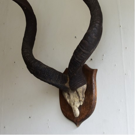 Kudu Horns