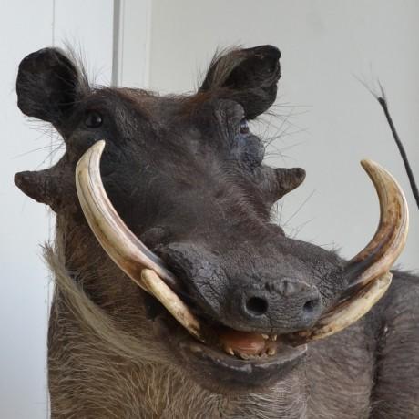 Taxidermy: A Warthog
