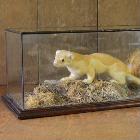 Taxidermy: Stoat