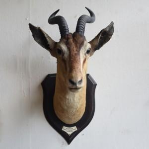 Taxidermy: Soemmerling's Gazelle